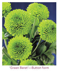 Picture Of Mums The Flowers - super floral retailing u003e current issue u003e cut flower of the month