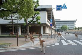 the wild deer that roam a japanese city u0027s streets wired