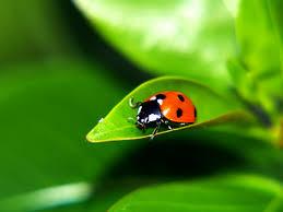 top 48 ladybug backgrounds hga14 fine wallpapers