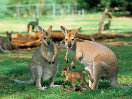 kangaroos latest wallpapers this wallpaper