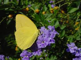native plants for butterflies plantanswers plant answers u003e duranta a texas superstar plant