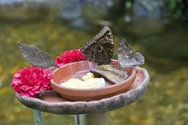 butterfly water feeder tips u2013 supplying food and water sources for