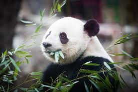 Lights At The National Zoo by Panda Bao Bao Leaving National Zoo For China