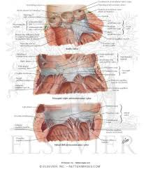 Anatomy Of Heart Valve Valves And Fibrous Skeleton Of Heart Valves Of Heart