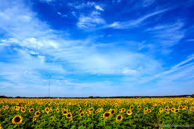Grinter Farms Travel Blog By Mickey Shannon Photography Sunflower Fields In Kansas