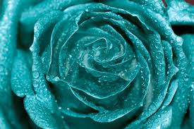 teal roses teal photo digital photography