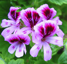 Geranium by Rose Geranium Essential Oil Mist Hawaiian Wellness