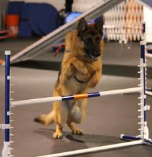 belgian shepherd victoria december u0027s dog atomic bob zoom room dog training