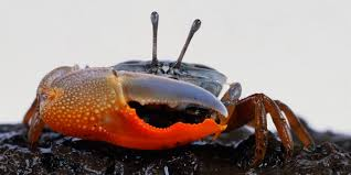 fiddler crabs use their giant claw for the two f u0027s fightin u0027 and
