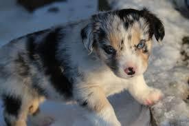 australian shepherd standard past puppies stonger miniature and standard aussies