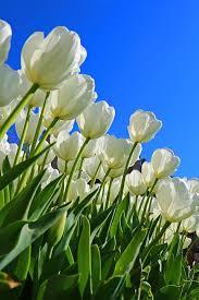 wallpaper bunga tulip tulips white flower free photo on pixabay