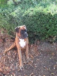 boxer dog uncontrollable head shaking so weird to repin this bc this is my photo and my boxer duke in
