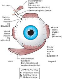 Eye Anatomy And Physiology 65 Best Eye Am Images On Pinterest Optometry Eye Facts And Medicine