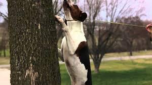 bluetick coonhound dander 2012 show dog championship treeing walker coonhound feature