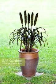 gap gardens pennisetum glaucum purple baron ornamental millet