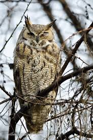 20 facts about the great horned owl withme