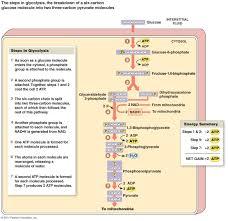 biology at fontbonne academy unit 04 how cells obtain energy