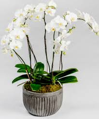 Orchid Cut Flowers - white orchid dish garden delivery philly pa same day delivery