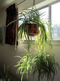 hanging spider amazing indoor plants beautiful amazing indoor