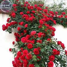 popular rose red climbing seed buy cheap rose red climbing seed