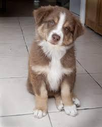 australian shepherd quinn australian shepherd puppy puppy love pinterest australian
