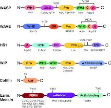 t cell receptor dependent actin regulatory mechanisms journal of