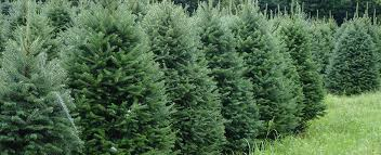 balsam fir tree farm