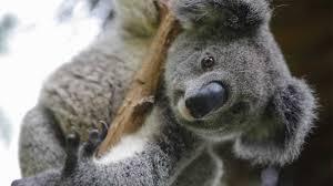 fun facts about koalas album on imgur