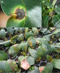 Mandevilla Plant Diseases - a new bacterial disease on mandevilla sanderi caused by
