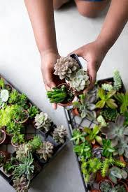 Succulent Plant Succulent Terrarium Plants 3 Individual Succulent Plants U2014 The