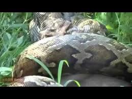 film ular phyton buaya memakan ular piton youtube