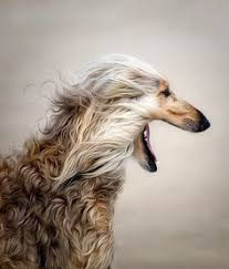 afghan hound club of st louis kaikadi origin india dogs dog breeds pinterest dogs