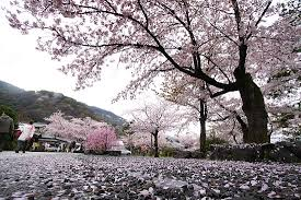4 answers what is the symbolism of cherry blossoms