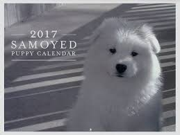 american eskimo dog calendar white magic samoyeds purebred studs breeders and puppies in