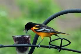 return of the prodigal songbirds u2013 gardeninacity
