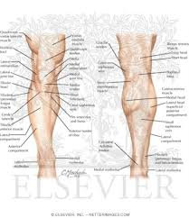 Knees Anatomy Anatomy Of The Leg And Knee