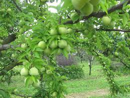 Best Fruit Trees For North Carolina - shedding light on fruit drop stark bro u0027s