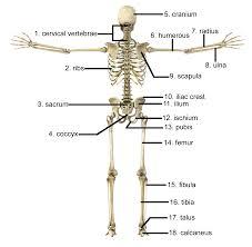 Printable Halloween Skeleton Human Anatomy Chart Page 2 Of 202 Pictures Of Human Anatomy Body