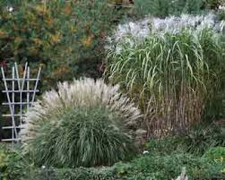 ornamental grasses and sedges as new crops