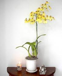 oncidium orchid oncidium orchid plant known as the