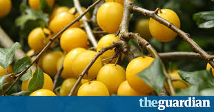 how to make cherry plum wine and style the guardian