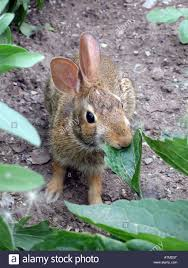 a wild rabbit chews on a plant in an urban allotment vegetable