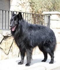 belgian sheepdog traits the belgian sheepdog academic hound dog training