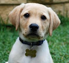 foods you must feed a labrador guide to how to feed your lab