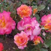mardi gras roses rosa mardi gras in the roses database garden org