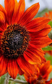 Yellow Orange Flowers - best 25 red sunflowers ideas on pinterest black sunflower seeds