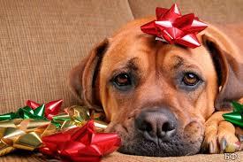 dog christmas 15 most beautiful christmas dog photos