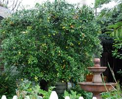 lime tree tree cloudpix