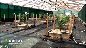 backyards terrific how to grow marijuana like a pro big sluggers