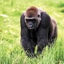 gorilla primate britannica com